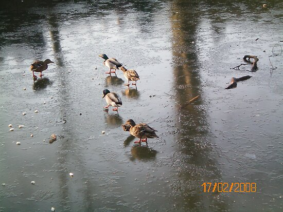 Ducks On Ice by Katter Pult