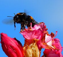 Taking off! - Bumblebee - Rhododendron - NZ by AndreaEL