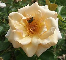 A rose in bloom with a visitor by Jim Caldwell