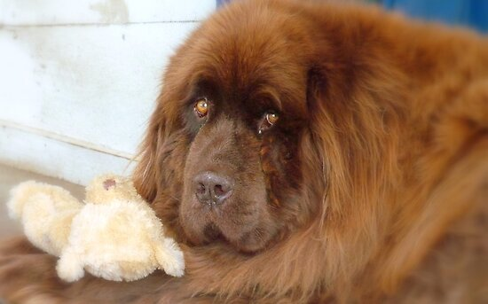 My Teddy is sleeping! - Newfoundland - NZ by AndreaEL