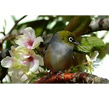 Oh dear! I think Iv'e been left at the Alter! - Silvereye - NZ Photographic Print