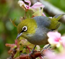 Get Serious! - Silvereye - NZ by AndreaEL