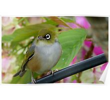 Perfection - Harmony With Nature - Silver-eye - NZ Poster