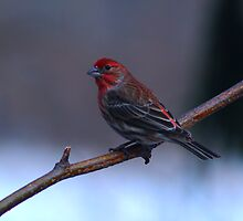 House Finch by Gaby Swanson  Photography