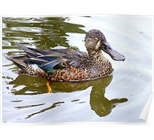 Bill Shoveler - Shoveler Duck - NZ Poster