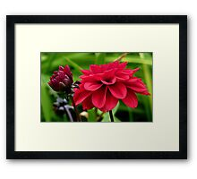 National Flower Of Mexico - Red Dahlia - NZ Framed Print