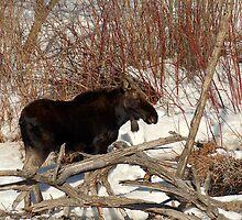 Moose - Provo River by Ryan Houston