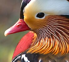 Mandarin Duck by Neil Bygrave (NATURELENS)