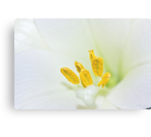 Macro of white lily and yellow pollen Canvas Print