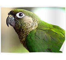 I'm Not Camera Shy! - Maroon-bellied Conure - NZ Poster