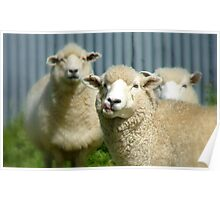 Stop Licking Your Chops! - Sheep - NZ Poster