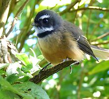 Dressed For Success - Fantail - NZ by AndreaEL