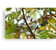 Where Were You When The Riroriro Sang? -  Riroriro - Grey Warbler - NZ Canvas Print