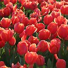 Red Tulips by Marilyn Harris