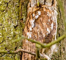 Tawny Owl trying to be a tree! by Dave  Knowles