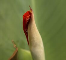 Canna Bud by Martie Venter