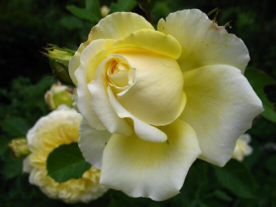 Pilgrim Rose by KMorral