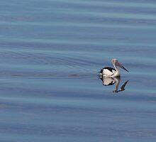 Pelican cruising by sashawood