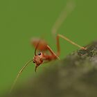 Red Ant snaring by insecthunter