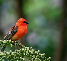 Little Red Robin Hood by Kirk  Hille