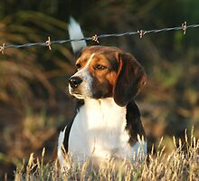 Beagle by Scott Hansen
