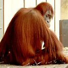 Orang utan  Kamil  by Tom Newman