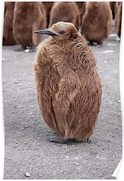 "King Penguin chick ~ ""Mirror Mirror on the wall, who's the........"" by Robert Elliott"