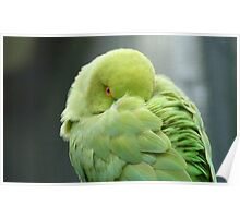 Hey I'mTrying To Catch Some Zzzzzz! - Ringneck Parrot - NZ Poster