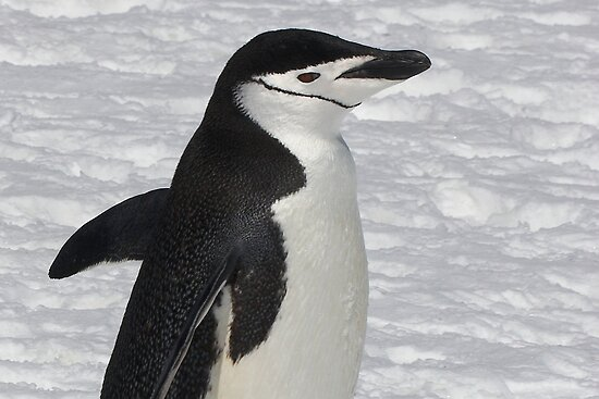 "Chinstrap Penguin ~ ""Ballroom Bound"" by Robert Elliott"