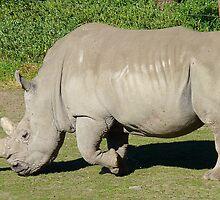 I'm A Big, Big, Beast! - Rhinoceros - Orana Wildlife Park CHC NZ by AndreaEL