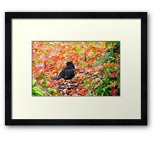 Autumn Rush! - Blackbird - Southland NZ Framed Print