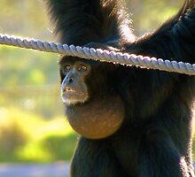 Hey I'm The Pro at Brachiating! - Siamang - Orana Wildlife Park CHC NZ by AndreaEL