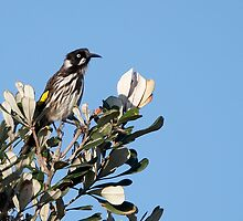 New Holland Honeyeater ~ The Sentinel   by Robert Elliott