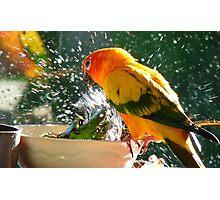 Please Bubbles!!, Let Me Have A Turn...! Sunconure - NZ Photographic Print