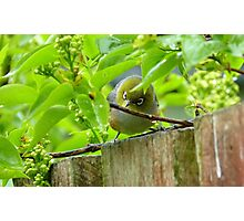 Who Goes There! - Silvereye/Wax Eye NZ Photographic Print