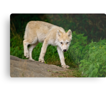 Arctic Wolf Pup on Rock Metal Print