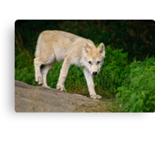 Arctic Wolf Pup on Rock Canvas Print