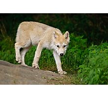 Arctic Wolf Pup on Rock Photographic Print
