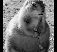 prairie dog 04 by Kittin