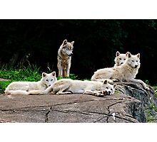 Arctic Wolf Pack Photographic Print