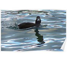 Did I Win The Diving Contest? - Black Teal Duck - Queenstown NZ Poster