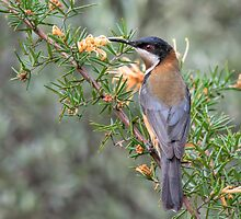Eastern Spinebill on a Grevillea Plant by John Sharp