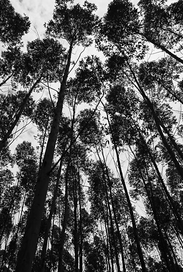 Eucalyptus trees in Brazil by julie08