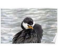 I Have An Attitude, Beware! - Pied Cormorant/Shag - NZ Poster