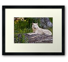 Arctic Wolf on Rocks Framed Print