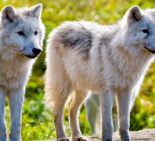 Pair of Arctic Wolves - Montebello, Quebec  Sticker