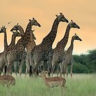 Girrafe heard at Dusk by Marie Strydom