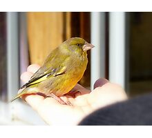 I Wasn't Alone At The End... Green Finch - NZ Photographic Print