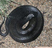 tasmanian tiger snake by cruisin4susan