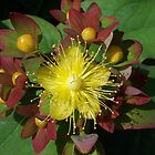 Yellow Flower with Red Leaves by kookaburra